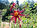 Red Daisy (11446043954).jpg