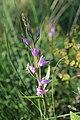 Red Helleborine - Cephalanthera rubra - panoramio (1).jpg