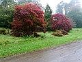Red Leaves in the Rain, Batsford Arboretum (5) - geograph.org.uk - 1539007.jpg