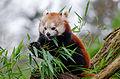 Red Panda (24390785709).jpg