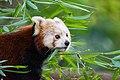 Red Panda (36790400734).jpg