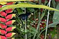 Red tropical flower and dark blue butterfly (24746324041).jpg