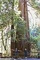 Redwood scale MG 2751.jpg