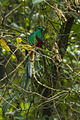 Resplendent Quetzal male hiding in the branches - Cloud Forest in Costa Rica S4E9293 (26459595836).jpg