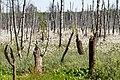 Rezerwat przyrody Bagno Jacka, wełnianki pochwowate, Eriophorum vaginatum, Wesoła, Warszawa 2.jpg