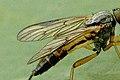 Rhagio.vitripennis.wing.detail.jpg