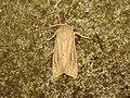 Rhizedra lutosa (9738443735).jpg