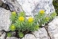 Rhodiola rosea 0002.jpg