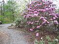 Rhododendrom oreodoxa var. fargesii Skógalyngrós.jpg