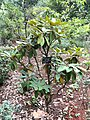 Rhododendron argyrophyllum - Kunming Botanical Garden - DSC02832.JPG