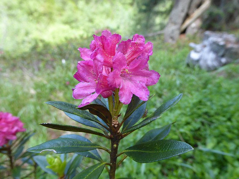 File:Rhododendron ferrugineum Tonini 01.jpg