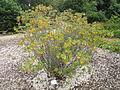 Rhododendron groenlandicum - Palmengarten Frankfurt - DSC02011.JPG