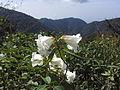 Rhododendron lindleyi poss R. megacalyx (7006373294).jpg