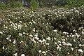 Rhododendron tomentosum kz12.jpg