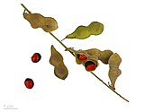 Rhynchosia pyramidalis MHNT.BOT.2015.34.121.jpg