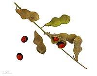 R. pyramidalis (baljor och frön)