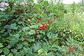 Ribes rubrum 01.JPG