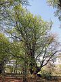 Riesenbuche bei Oberbach, 1.jpg