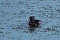 Ring-necked Duck (male) Benson Golf Course AZ 2018-11-19 13-38-28 (45409239114).jpg