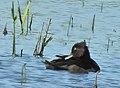 Ringand Ring-necked Duck (20341782852).jpg