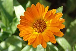Calendic acid - Calendic acid comes from the pot marigold