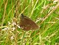 Ringlet butterfly at rest (27830885100).jpg