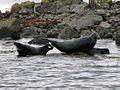 Robben bei Illugastadir.jpg