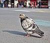 Rock dove (Columba livia) standing on place de la Bourse, Brussels, Belgium (DSCF4426).jpg