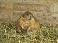 Roly Poly prairie dog (3707978953).jpg