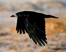 Rook in flight.jpg