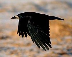 Oiseau intelligent  dans OISEAUX 250px-Rook_in_flight