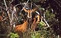 Roosevelt Sable (Hippotragus niger roosevelti) female (35318153464).jpg