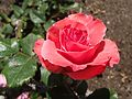 Rosa-pleasure.jpg