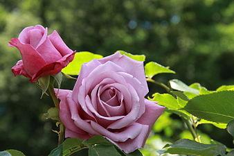 Rosa 'Charles de Gaulle'.jpg