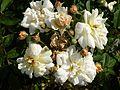 Rosa 'Thisbe' in Jardin des Plantes de Paris 03.jpg