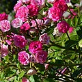 """Rosa """"Dinky"""" o VELheav. 03.jpg"""