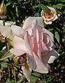 Rosa Catherine Mermet 2.jpg