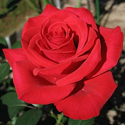Rosa Red Chateau01.jpg