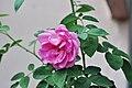 Rosa indica - 20120721.jpg