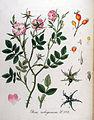 Rosa rubiginosa — Flora Batava — Volume v11.jpg