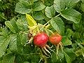 Rosa rugosa fruit (10).jpg