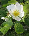 Rosa tomentosa inflorescence (02).jpg