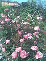 Rosales - Rosa cultivars 12 - 2011.07.11.jpg