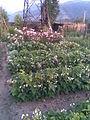 Rosales - Rosa cultivars and Phaseolus vulgaris - 2011.07.11.jpg