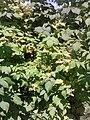 Rosales - Rubus idaeus - 2.jpg