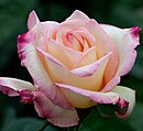 Rose, Garden Party - Flickr - nekonomania (5) (cropped).jpg