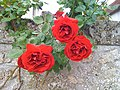 Roses in St. Pierre - panoramio.jpg