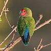 Rosy-faced lovebird (Agapornis roseicollis roseicollis) 2.jpg