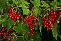 Rote Johannisbeeren 6559.jpg
