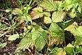 Rubus caesius IMG 8177 Forêt Domaniale de Verdun.JPG